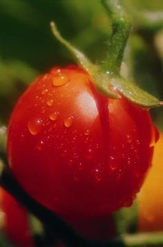 Growing tomato plants in your garden provides juicy and plump fruit without having to make a trip to the market. Unfortunately, blight and powdery mildew can attack the tomato plants, causing stunted .