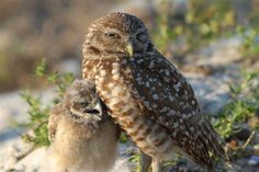 The Burrowing Owl (Photo: Dan Tudor)