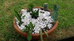 Plantinhas - cactos e suculentas.