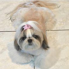 48 Trendy dogs and puppies shih tzu faces Shitzu Puppies, Teacup Puppies, Cute Puppies, Cute Dogs, Dogs And Puppies, Puppys, Doggies, Perro Shih Tzu, Shih Tzu Puppy