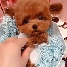 Toy Poodle Puppies, Teacup Puppies, Cute Puppies, Teddy Bear Puppies, Cute Little Animals, Cute Funny Animals, Funny Dogs, Cute Baby Dogs, Cute Babies