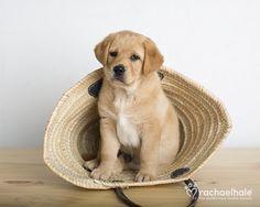 Callum (Golden Retriever)  A tisket a tasket, a puppy in a basket
