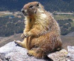 Adorable Colorado Mountain Marmots