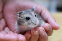 Hamster: Whoever you are. Russian Dwarf Hamster, Hamster Breeds, Cute Hamsters, Super Cute Animals, Guinea Pigs, Mice, Animal Photography, Beast, Husband