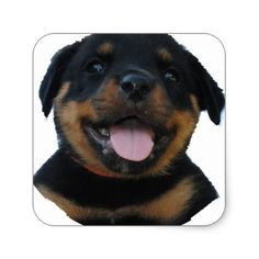 #rotweiler puppy square sticker - #rottweiler #puppy #rottweilers #dog #dogs #pet #pets #cute
