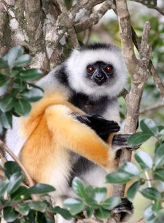 Propithecus diadema (sifaka velký, Indriidae) Baby Exotic Animals, Exotic Pets, Cute Animals, Ape Monkey, Chimpanzee, Lemur, Endangered Species, Animal Kingdom, Old World