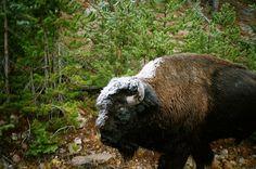 Cold Buffalo