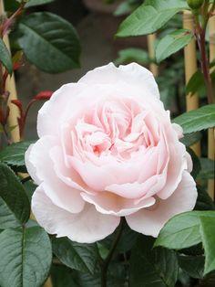 English Rose, David Austin Rose 'The Generous Gardener'
