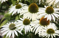 Echinacea purpurea 'White Swan' H 70cm S45cm. Full sun. Most soils, except very dry. Flowering in June to September.. Fully hardy. Bold, white, daisy-like flowers with drooping petals with orange-brown centres on stiff stems. This white coneflower is shorter than many varieties. A valuable addition to the middle of a border. Tough and long-flowering, coping well with adverse weather conditions, except drought. It is attractive to bees and butterflies, and birds will flock to the seedheads.