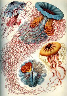 ⇢|| http://vintageephemera.blogspot.com/search/label/Sea%20Creatures ⇢||Illustration plate, various Jellyfish, 1904