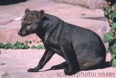 """The short-eared dog (Atelocynus microtis), also known as the short-eared zorro , is a unique and elusive canid species endemic to the Amazonian basin. This is the only species assigned to the genus Atelocynus."" WHAT. ITS A BEAR DOG"