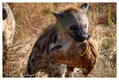 Hyaena,must have been a pack of them