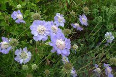Scabiosa caucasica 'Clive Greaves' besitzt große, hellblaue Blüten in gegabelten Blütenstän- den. Die Blütezeit dieser Skabiose ist Juni bis Oktober. Sie wächst bis ca. 80 cm in die Höhe.