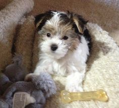 Morkie named Coco