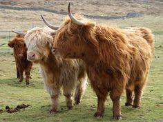 Highland cow, Scottish cow