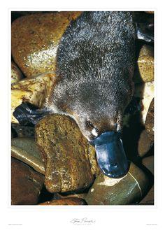 Australian Wildlife - A Platypus Beautiful Creatures, Animals Beautiful, Reptiles, Mammals, Duck Billed Platypus, Funny Animals, Cute Animals, Australian Birds, Unusual Animals