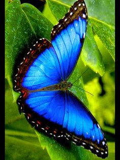 Types of Butterflies - Butterflies are one of the most adored insects for their enchanted beauty and representation of good luck and positive change. Morpho Butterfly, Blue Morpho, Butterfly Flowers, Blue Butterfly, Butterfly Wings, Papillion Butterfly, Butterfly Kisses, Types Of Butterflies, Flying Flowers
