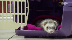 New trending GIF on Giphy. animals pets nat geo wild ferret exotic exotic animal er dr k. Follow Me CooliPhone6Case on Twitter Facebook Google Instagram LinkedIn Blogger Tumblr Youtube
