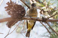 Palm Warbler at the Yamato Scrub Natural Area, Boca Raton, Florida, USA.  See more pics from the Yamato Scrub at https://flic.kr/s/aHsjYLZPg5  Like it? Tip it! http://smalagodi.tip.me www.onename.io/malagodi