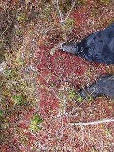 Mousse rouge gorgée d'eau dans les montagnes rocheuses, Canada