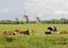 Hollandser kan het niet wei met koeien en molens