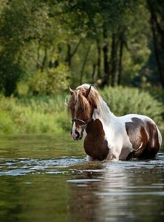 Beautiful pinto horse in the water. All The Pretty Horses, Beautiful Horses, Animals Beautiful, Painted Horses, Cheval Pie, Animals And Pets, Cute Animals, Majestic Horse, Horse Pictures