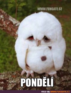 Sweet Adorable Baby Owls - World's largest collection of cat memes and other animals Cute Baby Owl, Baby Owls, Cute Baby Animals, Funny Animals, Pretty Animals, Animal Babies, Cute Animal Memes, Funny Animal Quotes, Fluffy Kittens