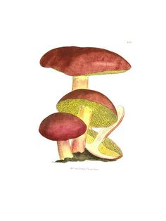 JAMES SOWERBY - AGARICUS IMPUBER. Plate 225 from English Fungi or Mushrooms Volume II London 1779.