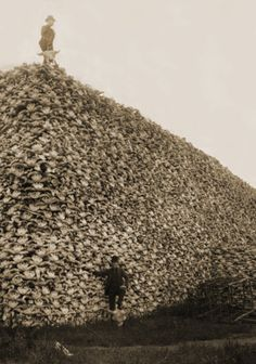 Buffalo kill in America. 1800s. military commanders were ordering their troops to kill buffalo — not for food, but to deny native Americans their own source of food and push them into reservation life. Where millions of buffalo once roamed, only a few thousand animals remained.---This makes me sick