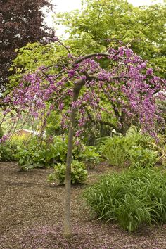Monrovia's Lavender Twist® Redbud details and information. Learn more about Monrovia plants and best practices for best possible plant performance. Monrovia Plants, Plant Catalogs, Early Spring, Garden Inspiration, Pink Flowers, Lavender, Backyard, Landscape, Beautiful