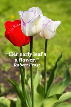 """""""Her early leaf's a flower.""""  Robert Frost -- TULIPS IN CHICAGO SUBURB -- Let images of flowers and insightful quotes bring you fresh inspiration at http://www.examiner.com/article/fresh-inspiration-from-flowers-and-quotes"""