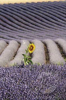 Lavendel+ en solsikke.