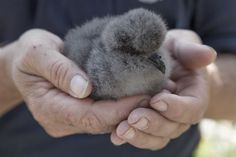 4 day old Cahow chick star of 2016 CahowCam — The Nonsuch Island Expeditions