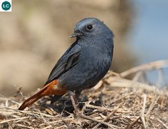 https://www.facebook.com/pages/THI%C3%8AN-NHI%C3%8AN-K%E1%BB%B2-TH%C3%9A/171150349611448 Chim đuôi đỏ lam; họ Đớp ruồi-Muscicapidae; Nam Á, Đông Nam Á và Trung Hoa | Plumbeous water redstart (Rhyacornis fuliginosa/Phoenicurus fuliginosus) IUCN Red List of Threatened Species 3.1 : Least Concern (LC)(Loài ít quan tâm)