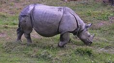 roba66 posted a photo:  Rhinoceros: since 1973 the population has recovered well and increased to 544 animals around the turn of the century. To ensure the survival of the endangered species in case of epidemics animals are translocated annually from Chitwan to the Bardia National Park and the Sukla Phanta Wildlife Reserve since 1986. However, the population has repeatedly been jeopardized by poaching: in 2002 alone, poachers killed 37 individuals in order to saw off and sell their valuable…