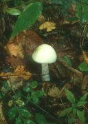 Amanita virosa field Mushroom. Deadly Mushroom found on RogersMushrooms.com