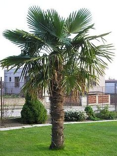 Windmill Palm on Fast Growing Trees Nursery. Have no idea how they classify as zone 7 safe. But wth. Cold Hardy Palm Trees, Chinese Plants, Small Yellow Flowers, Indoor Palms, Palm Tree Plant, Golden Tree, Fast Growing Trees, Evergreen Trees, Landscaping Plants