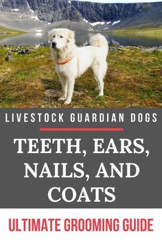 Livestock guardian dogs do require grooming for good health. Check out this article to learn everything you need to know to keep your LGDs in top condition!  #livestockguardiandog #lgd #doggrooming #grooming Farm Dogs, Sheep Dogs, Maremma Sheepdog, Raising Farm Animals, Outside Dogs, Great Pyrenees Dog, Tibetan Mastiff, Sleeping Puppies, Anatolian Shepherd