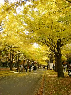 Hokkaido University, Sapporo, Japan- hard to find a prettier place to walk in the fall. Yellow ginkgo leaves everywhere. Maidenhair Tree, Tree Id, Living Fossil, Japanese Travel, The Giving Tree, Sapporo, Tree Leaves, Front Yard Landscaping, Wonderful Places