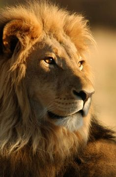 Angry Lion Beautiful Creatures Pinterest Lions Cat And Animal - Photographer captures angry lion before attack