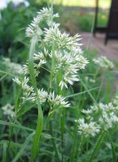 Luzula nivea| Veldbies | Wintergroen siergras