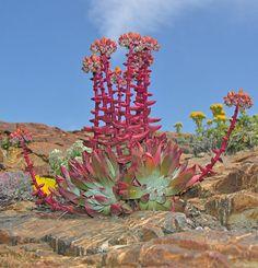 DUDLEYA caespitosa: blooms Spring-Summer, drought tolerant, evergreen