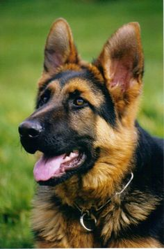 GSD - so beautiful! But aren't they all? :)