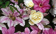 Rosen und ihre farbigen Begleiter: Weiß, Pink