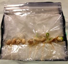 KFUNdamentals: Plant beans in a baggie with a napkin it it. Staple it along the… - Kindergarten Letter B Activities, Kindergarten Science Activities, Teaching Science, Teaching Aids, Science Ideas, Student Teaching, Life Science, Teaching Resources, Sustainability Projects
