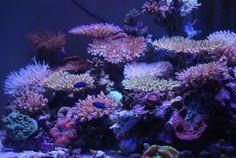 SPS reef tank under orphek led lighting