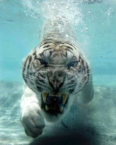 #perfecttiming #tiger #underwater #awesome #agressive #animals #wildlife #photography