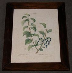 redoute botanicals french 1800 hand coloured engraving 15.25 x 18.5 PAIR $710  - 1