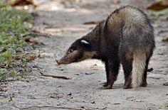 hog badger (Arctonyx collaris)