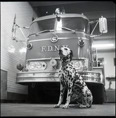 FDNY Photo taken from February 1970 Engine dog Smokey taken in quarters. Dalmatians are lively, smart, and want to please you. Girl Dog Names, Fire Department, Fire Dept, Dalmatian Dogs, Best Dog Breeds, Dog Agility, Emergency Vehicles, Fire Engine, Girl And Dog